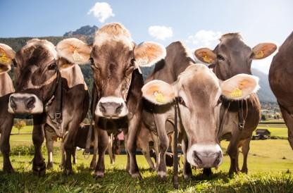 Ferienwohnung am Bauernhof Kühe