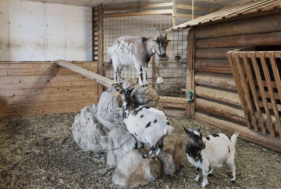 Ramsbergerhof Streichelzoo Ziegen